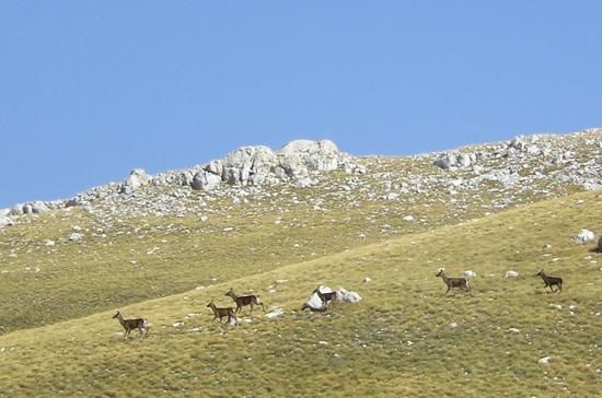 Cervi al pascolo - Barrea (3080 clic)
