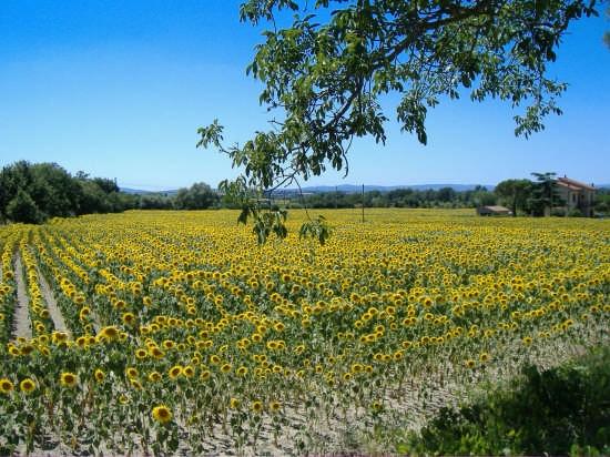 campo di girasoli - Assisi (4160 clic)