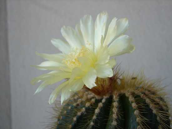 Fiore di cactus - Milano (3161 clic)