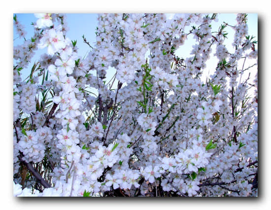 Mandorlo in fiore - Licata (3330 clic)