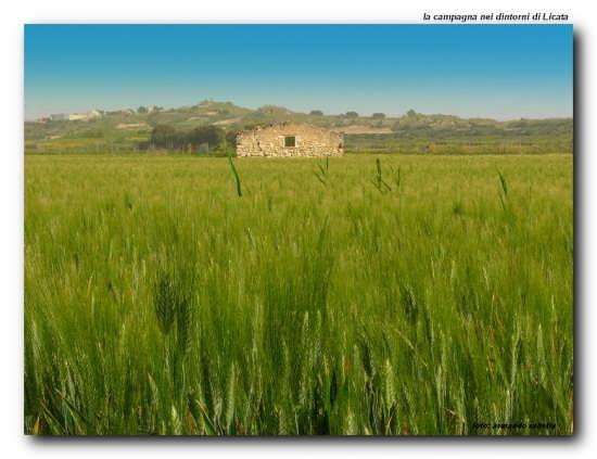 Grano a Maggio - Licata (3755 clic)