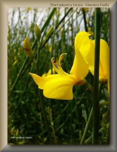 Fiore di Ginestra  - Licata (2587 clic)