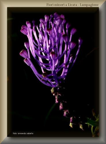 Piccolo fiore - Il Lampagione - Licata (3552 clic)