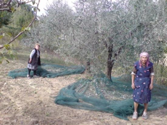 Raccolta Delle Olive  - Casalincontrada (3242 clic)
