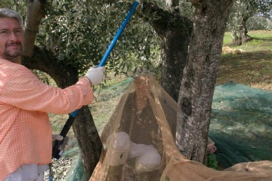 Raccolta Delle Olive  - Casalincontrada (2052 clic)