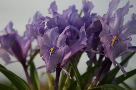 Iris nel vento - Macari (2980 clic)