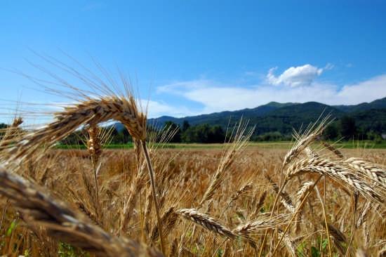 campo di grano - Canzo (2184 clic)
