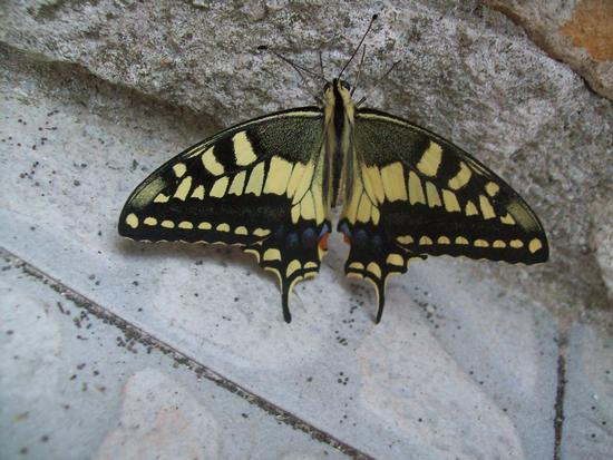 La farfalla - Reitano (1453 clic)