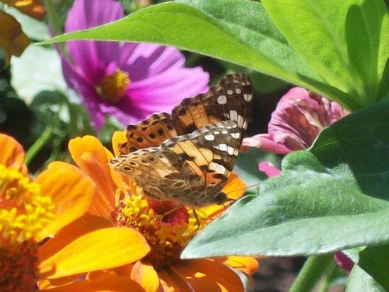 Farfalla - REITANO - inserita il 06-Mar-12