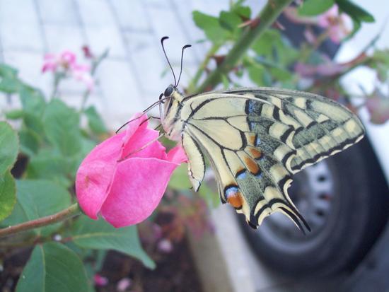 La farfalla - Reitano (2497 clic)