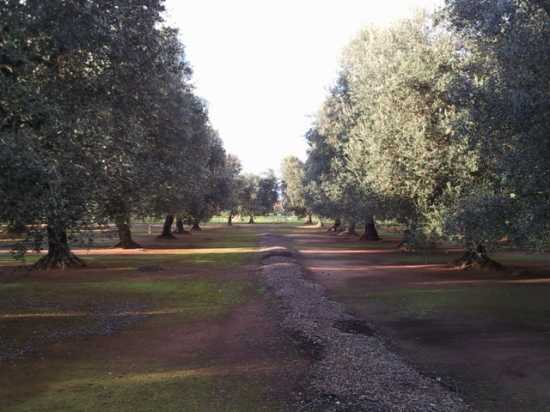 Filari di ulivi - Nardò (3412 clic)