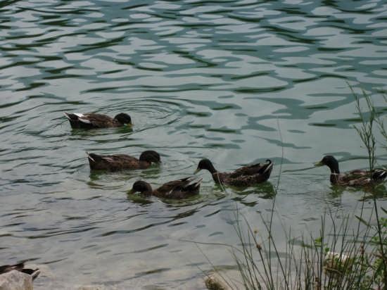 Papere nel lago - Telese (3418 clic)