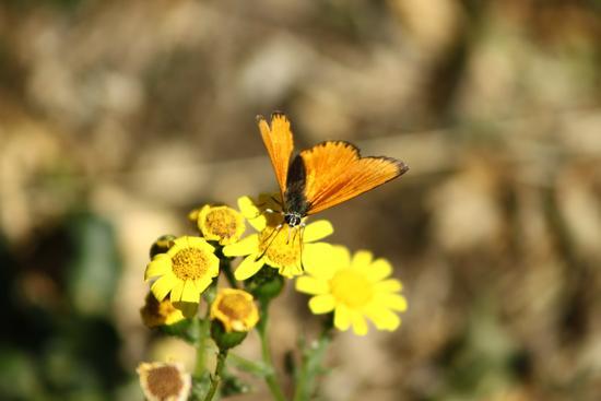 farfalla sul fiore - Barrea (2286 clic)
