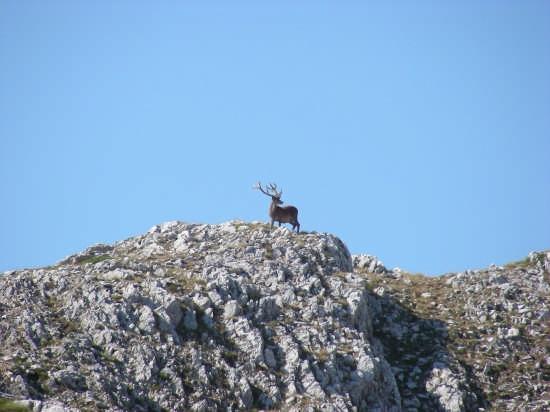 Il cervo - Barrea (3131 clic)