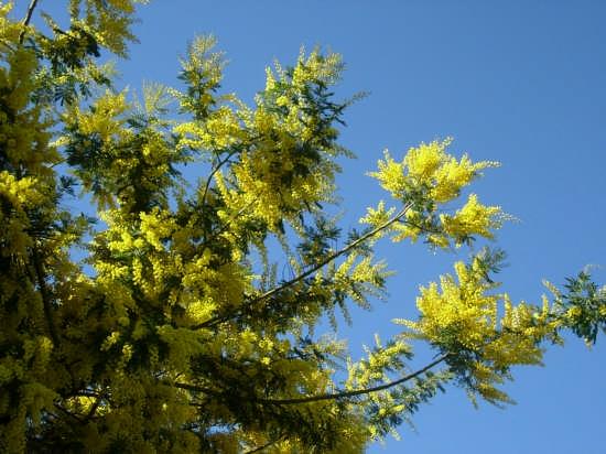 mimose a dicembre - Castelmola (3570 clic)