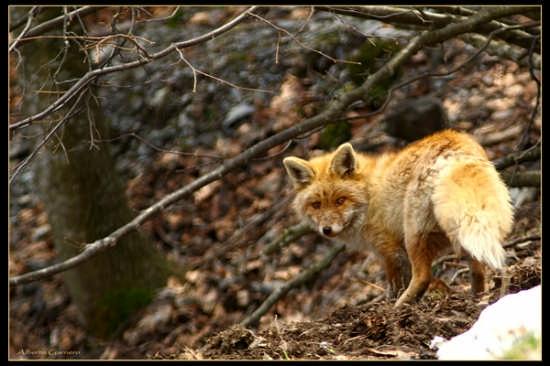 volpe nel parco Alpi Marittime - Cuneo (3043 clic)