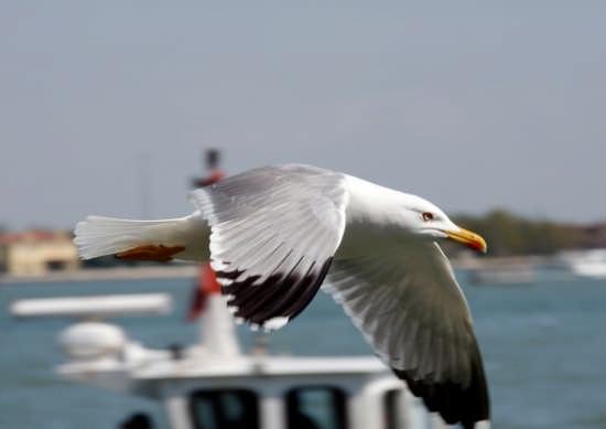 Gabbiano reale in volo - Venezia (6629 clic)
