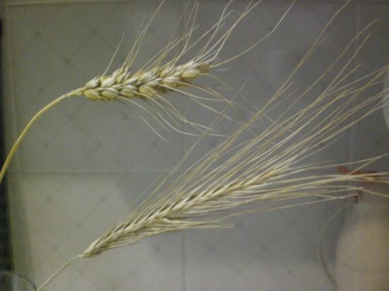 il grano e la zizzania - Carrara (3061 clic)