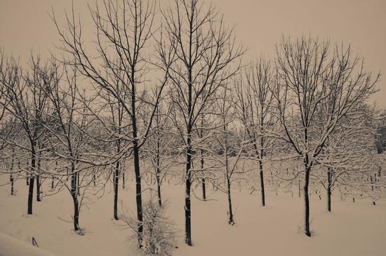 alberi silenziosi - Chianni (1315 clic)