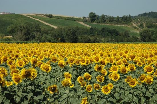 Chianni - Campo di Girasoli (4206 clic)