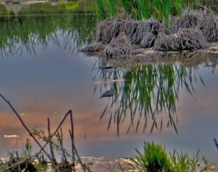L'oasi delle Cicogne - Racconigi (2715 clic)