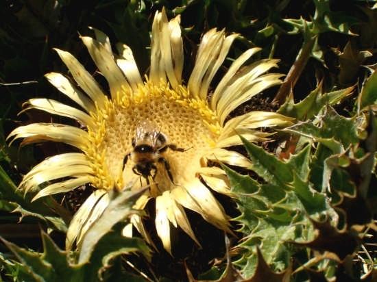 ape e fiore - Fano (2376 clic)