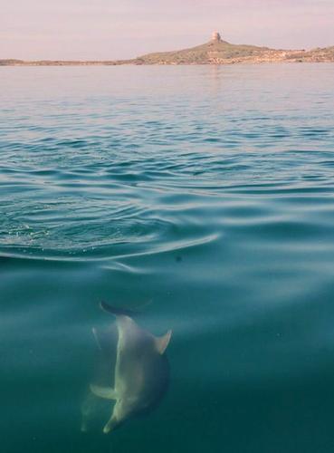 Delfini nell'oristanese - Cabras (792 clic)