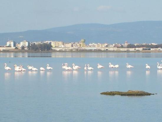 I fenicotteri nelle lagune dell'oristanese - Oristano (1394 clic)