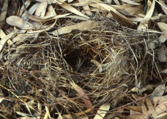 nido di gazza - Trinitapoli (1452 clic)