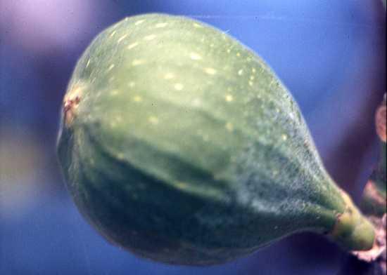 la miglior frutta.... - Trinitapoli (1805 clic)