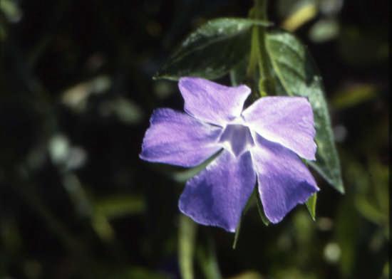 viole di campo - Trinitapoli (1291 clic)