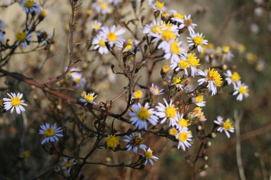 fiori nella zona umida - Trinitapoli (1243 clic)