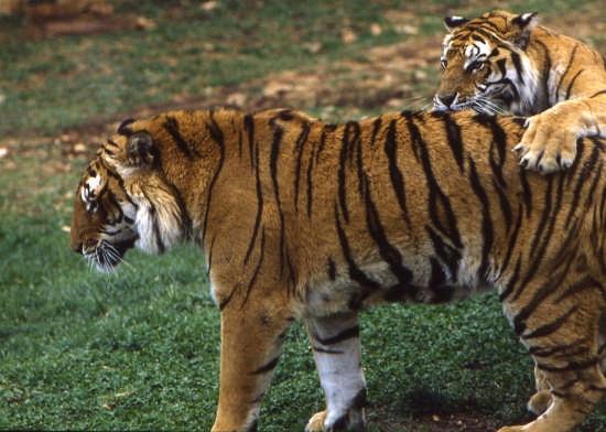 zoo fasano-tentativi sessuali (5392 clic)