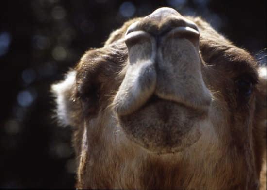 zoo fasano-un buon naso:cammello (3193 clic)