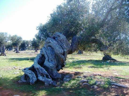 ulivo secolare - Veglie (5545 clic)