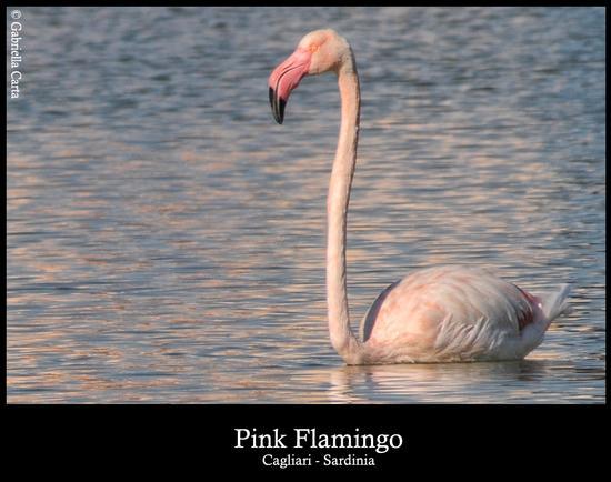 fenicottero rosa adulto - Cagliari (3304 clic)