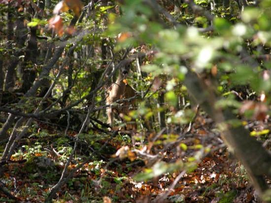 Capriolo nel bosco (riserva naturale bosco di S.Antonio) - Pescocostanzo (4878 clic)