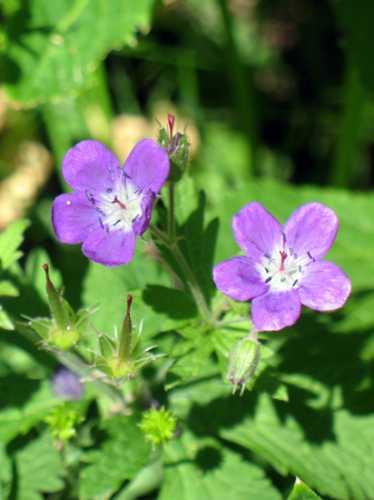 flora montana - COGNE - inserita il 24-Aug-09