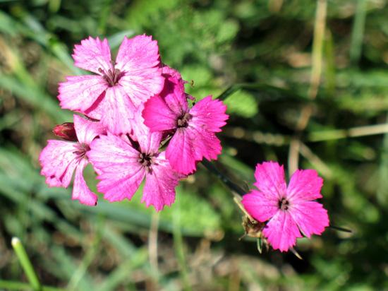 flora montana - Cogne (3662 clic)