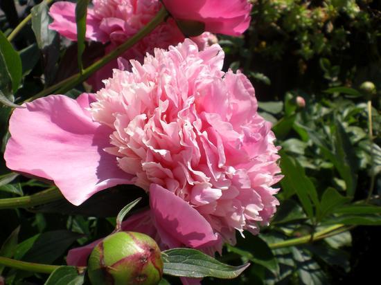 Flowers of ElmAgos B&B Udine Friuli Venice - Italy (2046 clic)