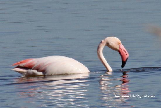 Fenicottero rosa - Vendicari (3014 clic)