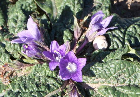 mandragora autumnalis - VENDICARI - inserita il 07-Jan-09