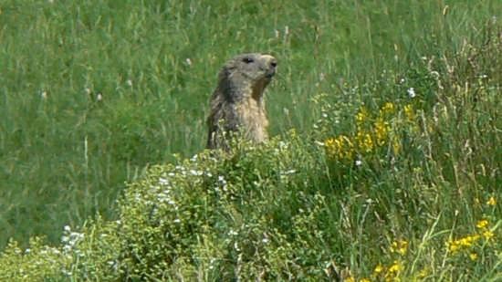 La mia amica marmotta - Maresca (2278 clic)