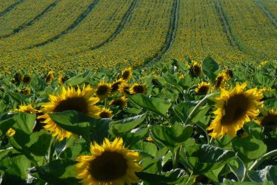 Campo di girasoli - Montemarciano (7988 clic)