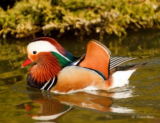 Mandarin Duck  (960 clic)