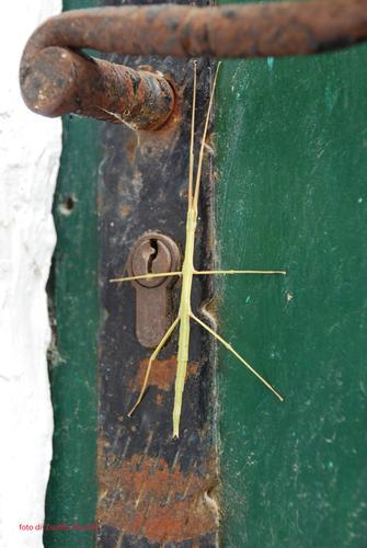 insetto stecco - Positano (2233 clic)