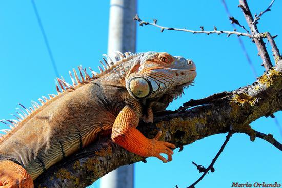 Iguana Charlie. . . - Corleone (2274 clic)