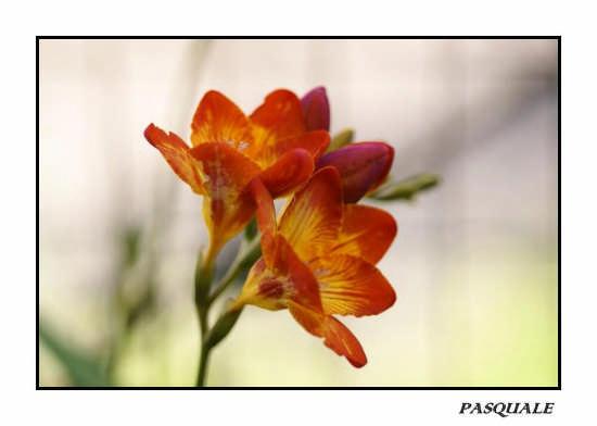 fiori - Messina (2582 clic)