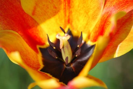 Tulipani  - Scandiano (1923 clic)