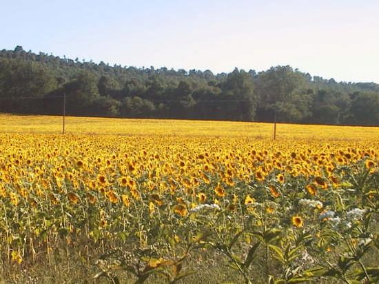 Campo di girasoli - Nemi (3001 clic)